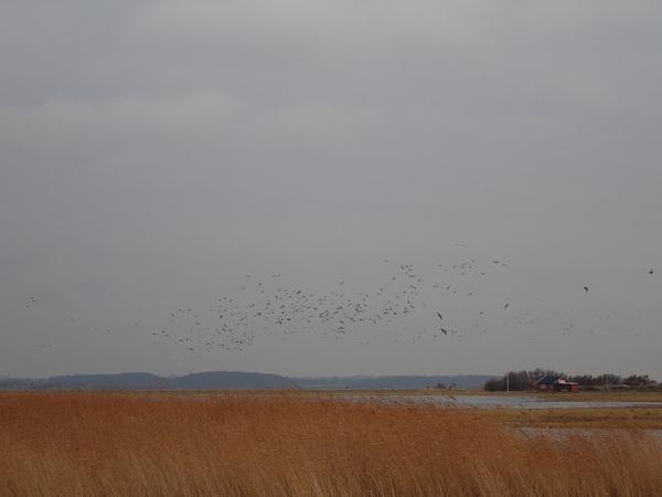 Skarø島の野鳥
